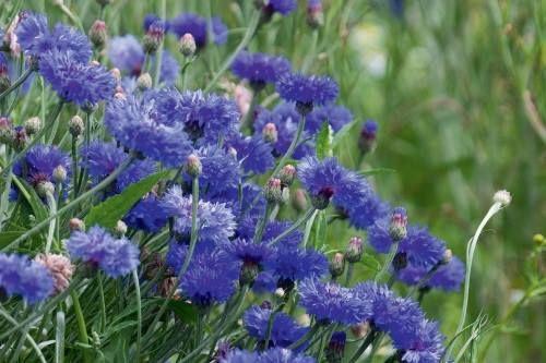 El aciano, activo vegetal de Pur Bleuet