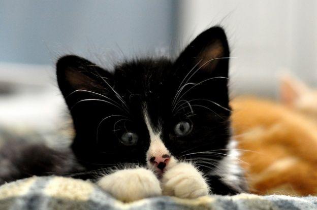 cute rescue foster tuxedo kitten white mittens