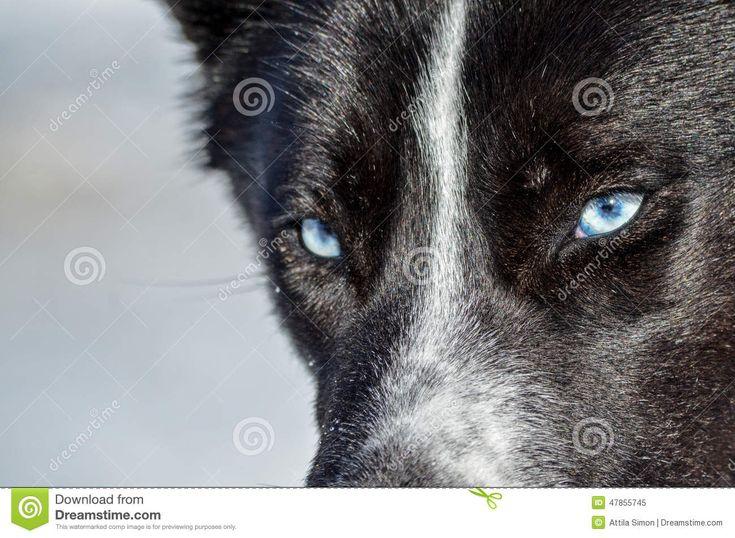 Blue eyes, closeup, black siberian husky portrait