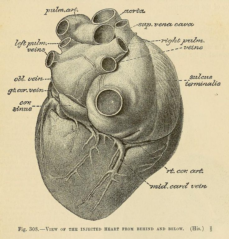 View of the heart, from Quain's Elements of Anatomy, by Jones Quain, 1891.