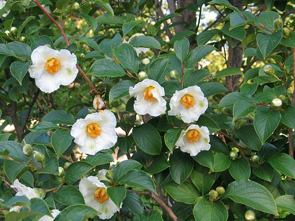 Photograph: Japanese Stewartia (Stewartia pseudocamellia), National Gallery of Art