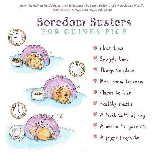 Guinea pig boredom busters