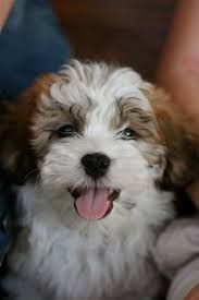 Image Result For Full Grown Shichons Teddy Bear Puppies