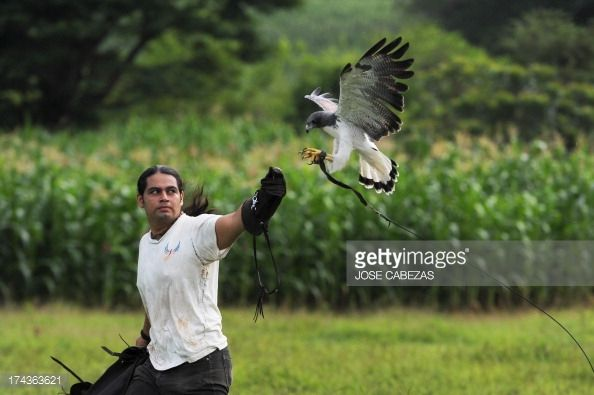 Orlando Jimenez runs next to a White-tailed Hawk (Buteo albicaudatus) as part of a rehabilitation program near the Salvadorean Bird Rescue (ALAS) center in Apopa, 12 km north of San Salvador, El Sa... Pictures | Getty Images