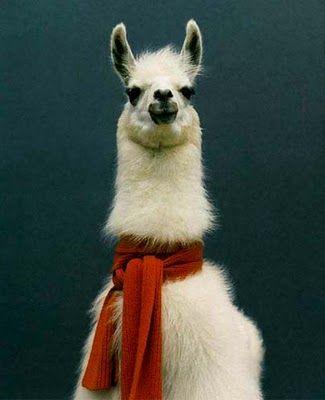 So suave in yo scarf :)Wear A Scarf, Pets, Dramas, Burning Flames, Funny, Alpacas, Scarves, Bananas Republic, Animal