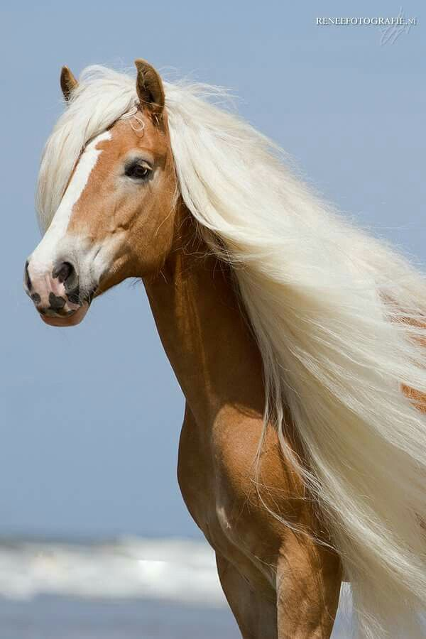 Gorgeous Palomino colored horse at the beach with long flowing mane.