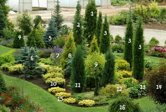 1. Thuja occidentalis 'Holmstrup' 9. Deren white 'Aurea' 2. Serbian spruce 'Pendula' 10. Yew 'Washingtonii' 3. Juniperus communis 'Stricta' 11. The rocky juniper 'Blue Arrow' 4. Thuja occidentalis 'Dumosa' 12. Japanese Spiraea 'Goldmound' 5. Blue spruce 'Glauca' 13. Cuff soft 'Auslese' 6. Blue spruce 'Maigold' 14. The English physocarpus 'Diabolo' 7. Catnip Siberian 15. Yew berries 8. Thuja occidentalis 'Aurea' 16. The European larch 'Pendula'