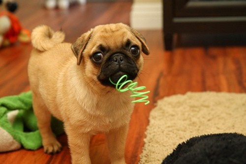 Cute puppy http://www.fancydressdog.com/cute-puppy-pictures/cute-puppy-5/Pugs Puppies, Dogs, Parties, Adorable Amusement, Adorable Pugs, Puppies Wwwfancydressdog, Pugs Pugs, Baby Pugs, Animal