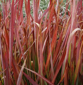 Ornamental Grasses | Bluedale