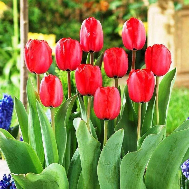 Tulip Bulb 10 Pack Red Impression Pure Bright Red Perennial Tulip Bulbs Red F In 2020 Red Perennials Bulb Flowers Tulip Bulbs