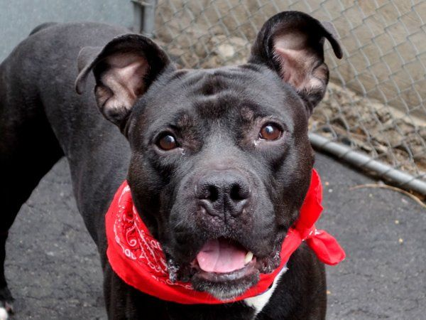 ZIGGY aka KODIAK - A1034988 - Manhattan - Publicly Adoptable TO BE DESTROYED 05/26/15 A volunteer writes: Mr. Manners, aka Ziggy, aka Gorgeous, is here to answer all your burning canine etiquette questions. How should a dog walk? Well, it looks like this: The leash slack, perfectly at his walker's knee. Cleanliness? No mess in the kennel, relieving himself immediately outside. Table manners? He would never eat while standing, instead sitting for treats (OK, we'll admit he eats with his mouth…