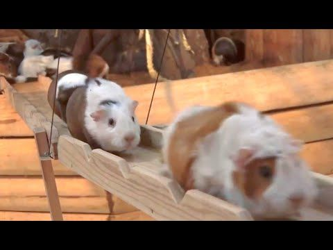 Porquinhos-da-índia cruzam ponte, ganham música e viram hit na web +http://brml.co/19W2FDF