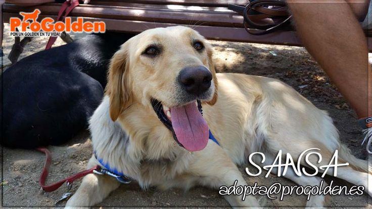 """EN ADOPCIÓN!! SANSA, 1 año. Sansa está en una casa de acogida, convive con otro perro, es un poco tímida al principio pero seguro que nos """"engaña"""" y en breve será una perrita feliz y divertida, es híper cariñosa con personas. Aún tiene que pasar todo el protocolo veterinario por lo que estamos a la espera de su estado de salud, que creemos que será bueno. Contacto: adopta@progolden.es"""