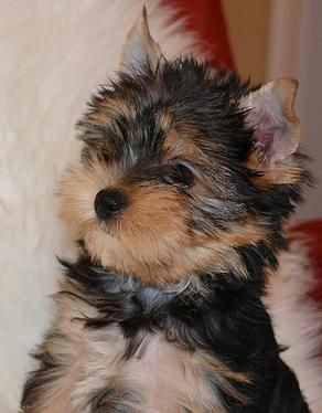 Teacup Yorkie Puppies for Sale| Parti Yorkies for Sale