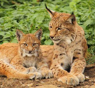 Transylvanian Wildlife Project: The Eurasian Lynx (Lynx lynx)