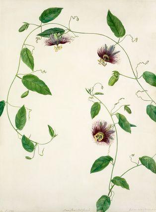 Meen, Margaret (fl.1775-1806) (Artist) -- Passiflora maliformis -- Passion flower -- View By Flower -- RHS Prints