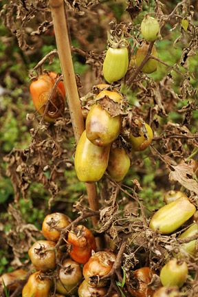 """Blight: After your plant has a good start, clip off all the lower leaves, then continue to trim off dead leaves from the bottom. Sprinkle powder """"Copper fungicide"""" on the plant, you will find this at your garden center."""