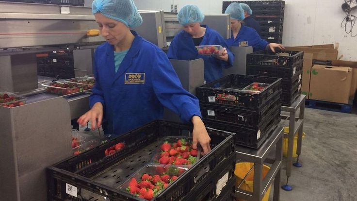British Summer Fruits, the industry body which accounts for 97% of all berries supplied to UK supermarkets, has warned that Brexit will crush the industry unless seasonal labour supply is guaranteed.   Today's Zoe Conway spoke to Andrew from Poland, a manager at Tuesley farm, who said he... - #Applied, #Brit, #Farm, #Fruit, #World_News, #Years