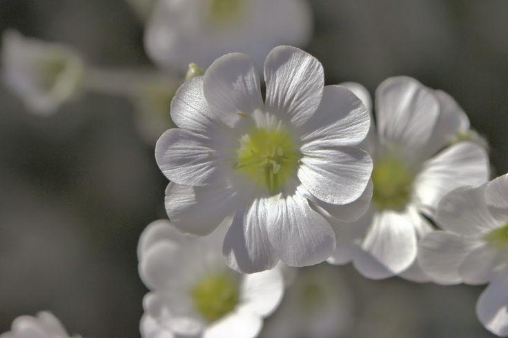 valkoiset kukat