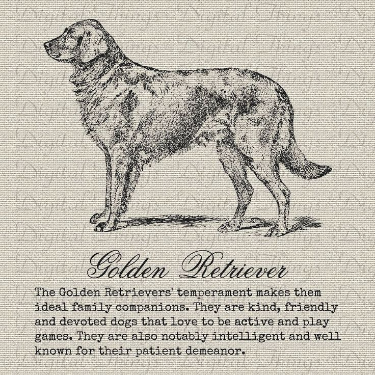 Vintage Golden Retriever Dogs Description Definition Printable Digital Download for Iron on Transfer DIY  Tote Pillows Tea Towels DT999
