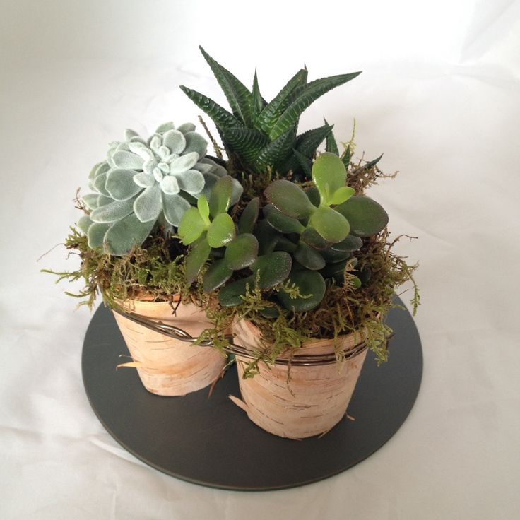 3 Succulents, with moss and striped bark, tied together presented as a table arrangement.