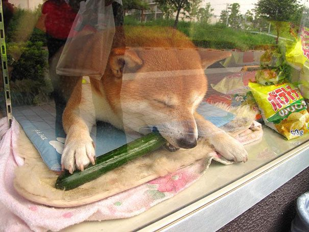 "He also has a little resting place right below the counter, where he likes to hang out and chew on cucumber. | This Shiba Inu ""Works"" At A Little Shop In Japan And It Is Precious"