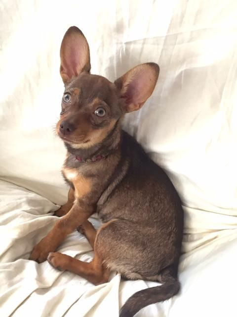 Adopt Nutmeg On Chihuahua Mix Dogs Animal Rescue