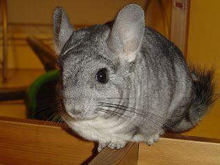 Chinchila é o nome genérico dos mamíferos roedores da família Chinchillidae, nativa dos Andes da América do Sul. A pelagem da chinchila é cerca de 30 vezes mais suave que o cabelo humano e muito densa, com 20.000 pêlos por centímetro quadrado.