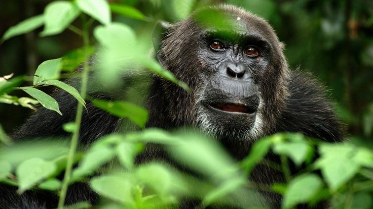 Latest Monkey HD Wallpapers and Backgrounds (21)  www.urdunewtrend.... Monkey 10] 10K 1... 1