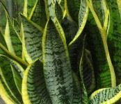 taking care of sansevieria