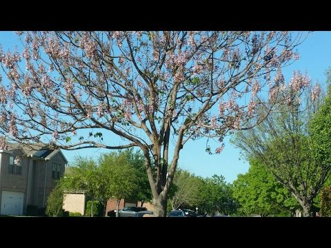 22 Best Images About Royal Empress Tree On Pinterest