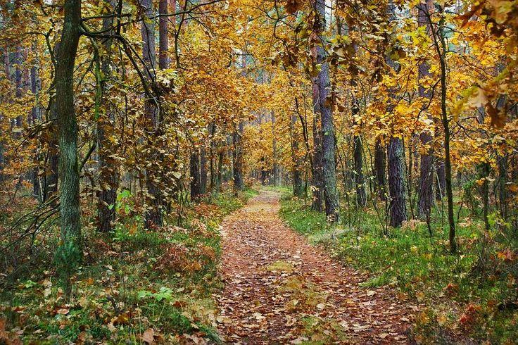 Ta #jesień niby smutna ale przynajmniej zawsze piękna. #neirawypełzaznory  #autumn #forest #trees #leaves #fall #gold