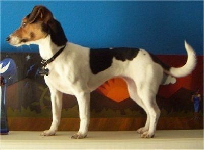 Left Profile - A tricolor white with black and tan Minie Jack is standing on a hardwood floor with a brown couch and a blue wall behind it.