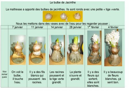 Le bulbe de mar 2013 maternelle dec mde jacinthe pinterest for Les meilleurs sites de jardinage