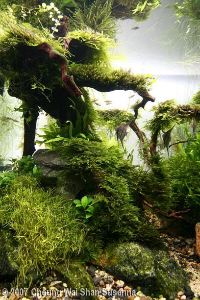 Dreamy aquarium with driftwood and live plants. Get driftwood for your aquarium here: http://www.driftwoodwarehouse.com
