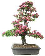 €   2780,- 40 jaar oud 23cm hoog        www.bonsai.de  + 40,-verzendkosten