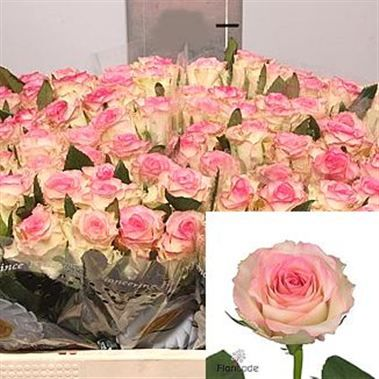 Rose Pink Ice 50cm Is A Lovely Pink Cut Flower Wholesaled In