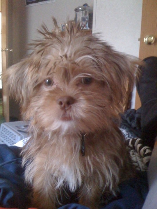 shorkie haircut styles shorkie puppy haircuts hairstylegalleries 4364