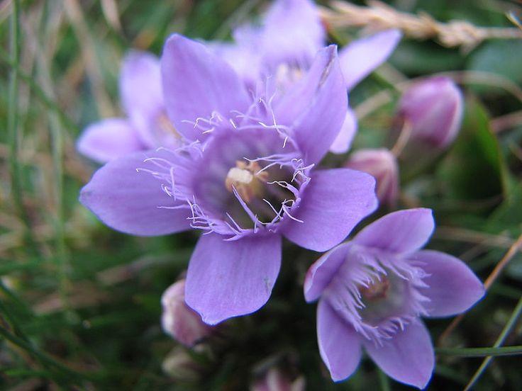 Floare de altitudine in Muntii Bucegi - Munții Bucegi - Wikipedia