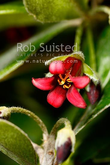 Native Three Kings Karo flower (Pittosporum fairchildii; Pittosporaceae), New Zealand (NZ) stock photo.