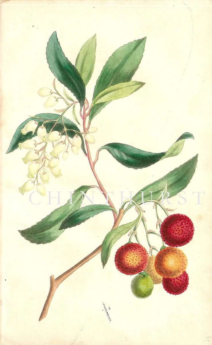 STRAWBERRY TREE. Louisa Anne Twamley. Chromolithograph from 'The Romance of Nature'. 1836