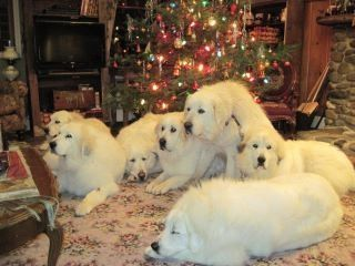 Oh, it would be wonderful to have a houseful of Pyrs! A full time fur cleaner on hand, and all trained to run only outside. Pure love. - Johna Beall Real Estate in Seattle -