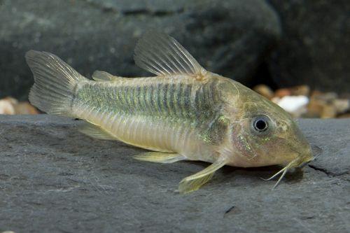 corydora catfish green catfish corydoras green gold r eg corydoras ...