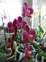 moth orchid plant- cleans air