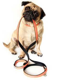 Use our all natural supplement when you are pointing out Dog Joint Health Concerns for your Furry Children. http://www.prolabspets.com/blog/blog/rachel/recognizing-signs-dog-joint-pain #prolabspets