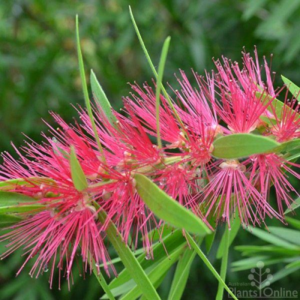 Callistemon 'Eureka' Vivid purple-pink flowers during spring and summer, makes a beautiful wildlife hedge.