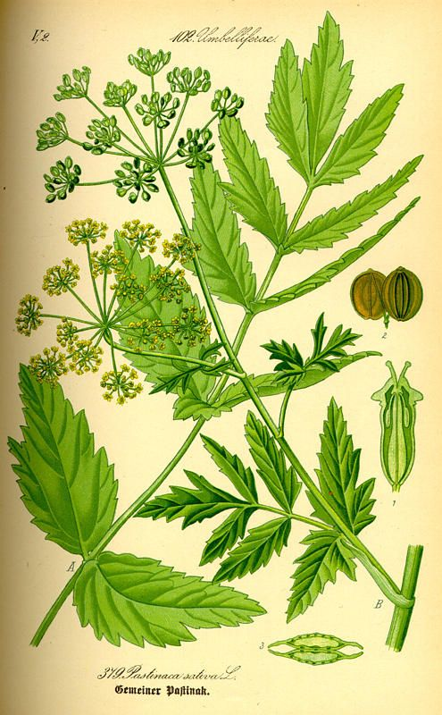 Parsnip, Pastinaca sativa. Flora of Germany and Austria Switzerland (1885)