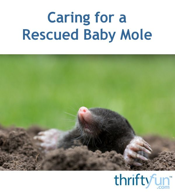 Caring For A Rescued Baby Mole Baby Mole Baby Animals Baby