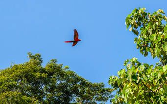 Roter Ara Papagei im Nationalpark Corcovado