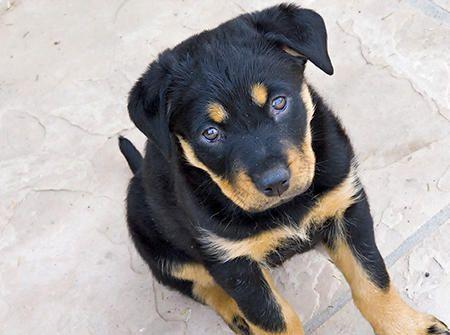 Rottweiler Mix Puppy | My future pets:) | Pinterest ...